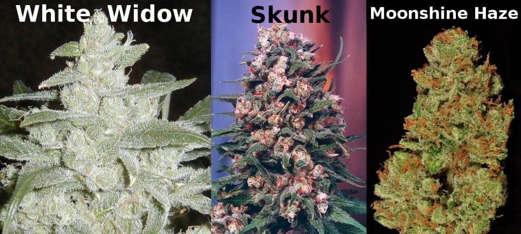 bekannte Cannabis Sorten